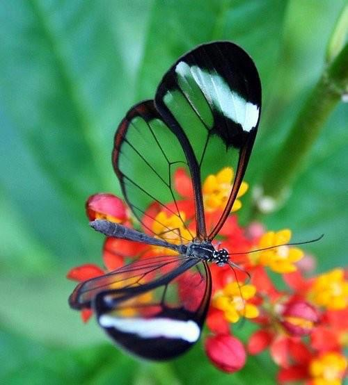 Nature's beauty, the Glass winged butterfly!